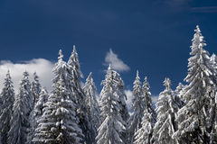 Winter trees . Stock Images