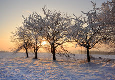 Winter trees. Warm winter sunrise with trees covered by frost Royalty Free Stock Photo
