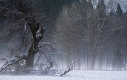 Winter trees. A foggy winter scene taken in Yosemite National Park Stock Photography