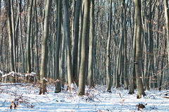 Winter trees. This is the Shumen Plateau Park, located 450 meters above sea level, near my hometown. It is famous for its old beech trees Royalty Free Stock Photo