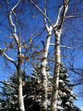 Winter Trees. Pine and birch trees and snow against a very blue sky stock image