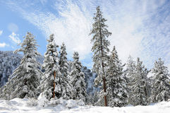 Winter trees. Winter in the forest in the mountains Royalty Free Stock Photo