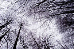 Winter trees. View from below on a tree canopies in winter Royalty Free Stock Images