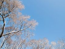 Winter trees against blue sky. Snow winter trees in the forest against blue sky Stock Image