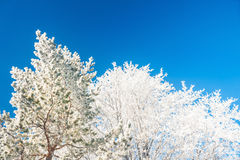 Winter trees against the blue sky Royalty Free Stock Photo