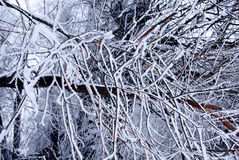 Winter trees background Royalty Free Stock Photo
