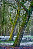 Winter Trees. Bare trees in forest with snow Royalty Free Stock Photography