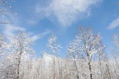 Winter trees Royalty Free Stock Photo