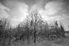 Winter trees. Black and white photography. Royalty Free Stock Images