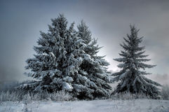 Winter Trees. Coated in snow on a foggy morning in winter Royalty Free Stock Photo