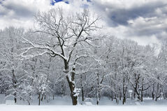 Winter trees covered with snow in the forest . Royalty Free Stock Photography