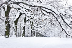 Winter trees covered with snow in the forest . Stock Image