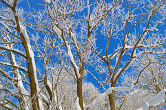 Winter trees covered by snow and hoarfrost Stock Photography