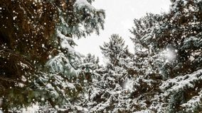 Winter Trees Covered With Snow. Trees covered with snow in a snowy day stock video footage