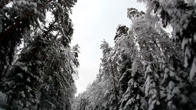 Winter trees covered with snow. Winter trees are covered with thick snow stock video footage