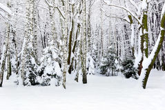 Winter Trees Covered With Snow In The Forest . Stock Photos