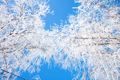 Winter trees crowns and sky. Up shot of the snow covered crowns of the trees with blue sky between Royalty Free Stock Photo