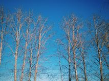 Winter trees. In day Stock Images