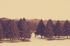 Winter Trees. Evergreen winter landscape in the snow Royalty Free Stock Images