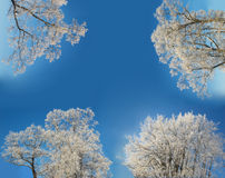 Winter trees frame. Winter trees covered with hoarfrost on blue sky background Royalty Free Stock Images
