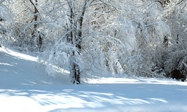 Winter trees frosted in white snow Royalty Free Stock Photo
