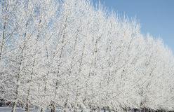 Hoar Frost on Winter trees Royalty Free Stock Photo