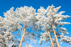 Winter trees in hoarfrost against the blue sky Royalty Free Stock Photography