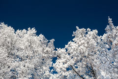 Winter trees in hoarfrost against the dark blue sky. Stock Photography