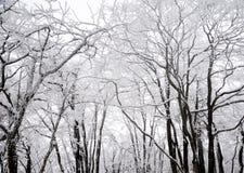 Winter Trees In Snow Stock Image