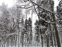 Winter trees , Lithuania Stock Images