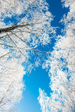 Winter trees low angle Stock Photography