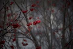 Winter trees with red non edible bunches of red berries royalty free stock photos