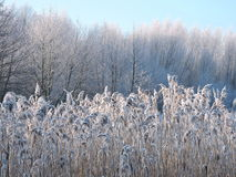 Winter trees and reed pattern Royalty Free Stock Photography