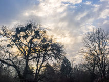 Winter trees silhouetted against sunrise through clouds. Barren, winter trees are silhouetted against a sunrise with white, puffy clouds in a blue sky Stock Images