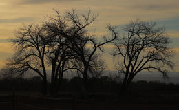 Winter trees. Silhouettes of bare winter trees Royalty Free Stock Images