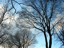 Winter trees and sky Royalty Free Stock Image