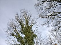 Winter trees and sky. Bare, foliage covered tree with sky above Stock Photo