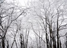 Winter trees in snow Stock Image