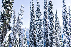 Winter trees snow. Ski hill in the winter with trees overlooking valley mountains in Alberta Canada Stock Image