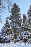 Winter trees in the snow Royalty Free Stock Images