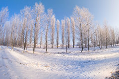 Winter trees snow field sun Royalty Free Stock Images