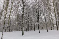 Winter, trees, snow. Pattern of tree trunks covered with snow Stock Image