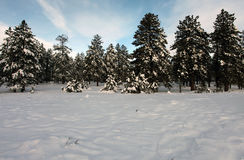Winter trees on snow with sky Royalty Free Stock Images