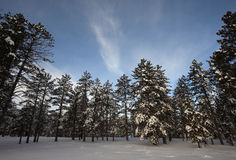 Winter trees on snow with sky Stock Image