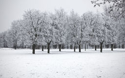 Trees. Winter trees on snow white background Stock Images