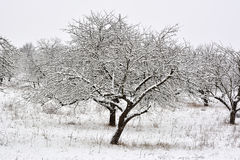 The winter trees on snow on the winter morning Royalty Free Stock Images
