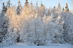 Winter trees, sunny day. Winter trees in the snow Stock Photo