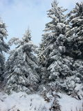 Winter trees. View at snowy trees Royalty Free Stock Images
