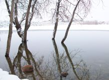 Winter trees in water royalty free stock image