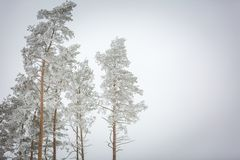 Winter trees with white rime Royalty Free Stock Photo